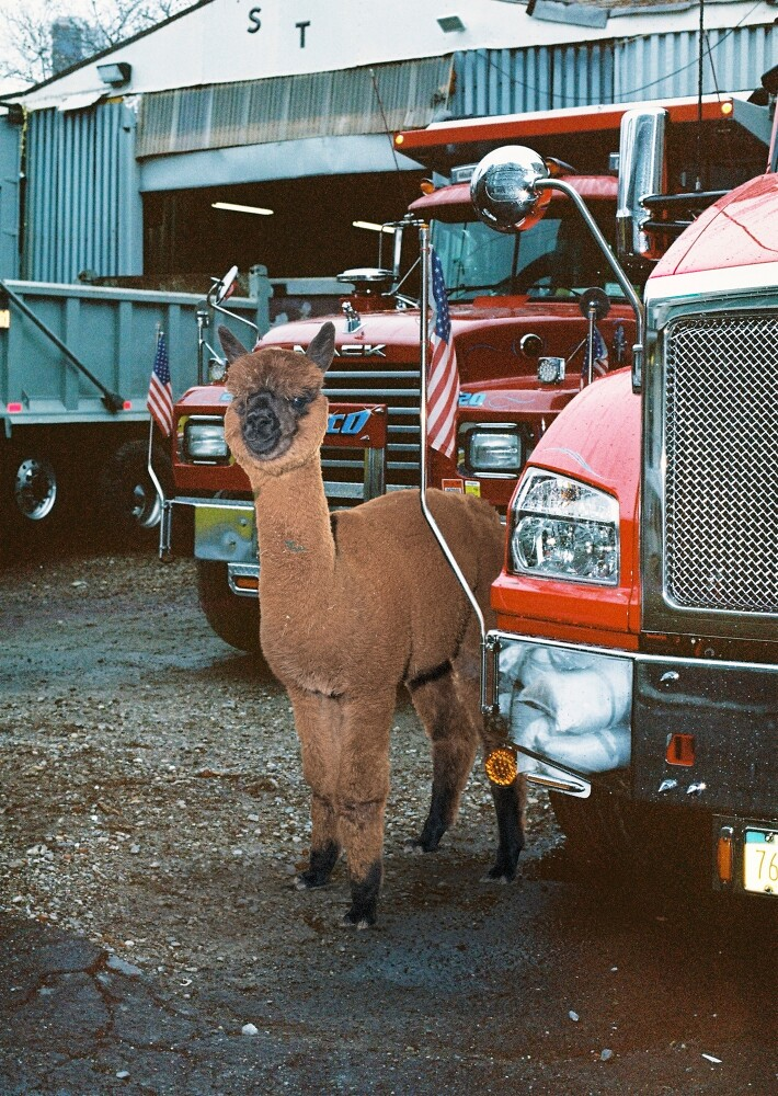 Daniel Gebhart de Koekkoek Make Alpaca Great Again 2 Daniel Gebhart de Koekkoek: Make Alpaca Great Again
